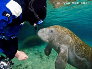 Manatees are very curious
